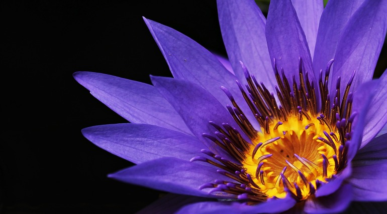 water-lily-2334209_1920 (2)